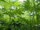 hempgrowing